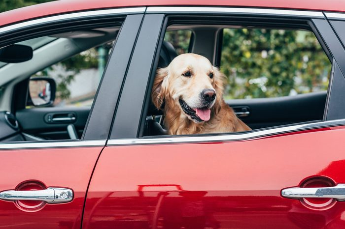 cute golden retriever dog looking out of car window