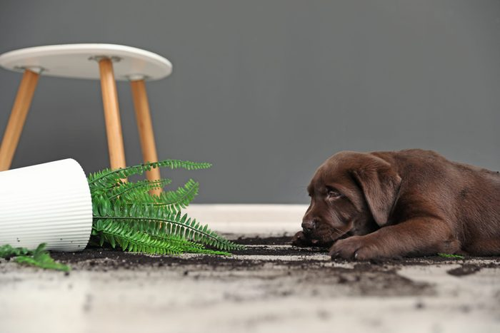 Chocolate Labrador Retriever puppy with overturned houseplant at home