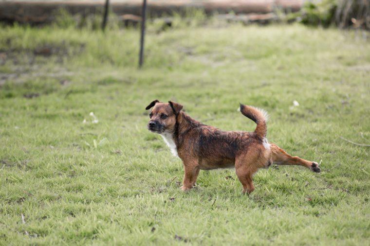 Border terrier cross dog kicking with back leg