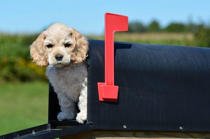 puppy in a mailbox - american cocker spaniel puppy - 8 weeks old