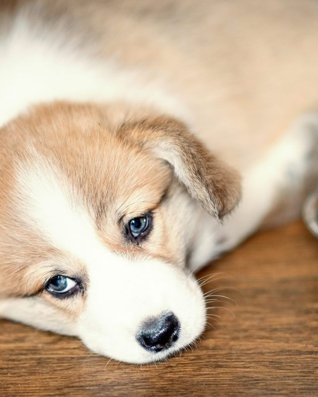 Cute Puppy overeating dog food and laying looking at camera. Dry food and the dog who eats a lot