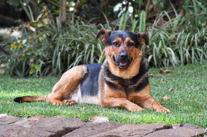 Dogs, Cross breed Rottweiler - German Shepherd
