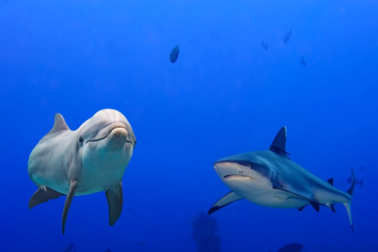 dolphin underwater with grey shark arttack on ocean background looking at you