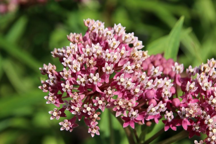 Blooming cultivar swamp milkweed (Asclepias incarnata 'Soulmate') in the summer garden