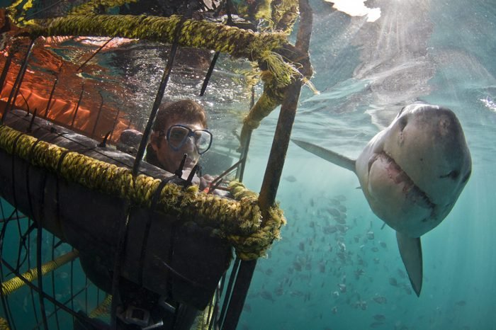 A great white shark passing a person in a dive cage underwater