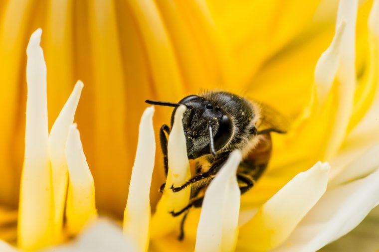 Macro Shot, Image of bee or honeybee on the yellow lotus pollen.