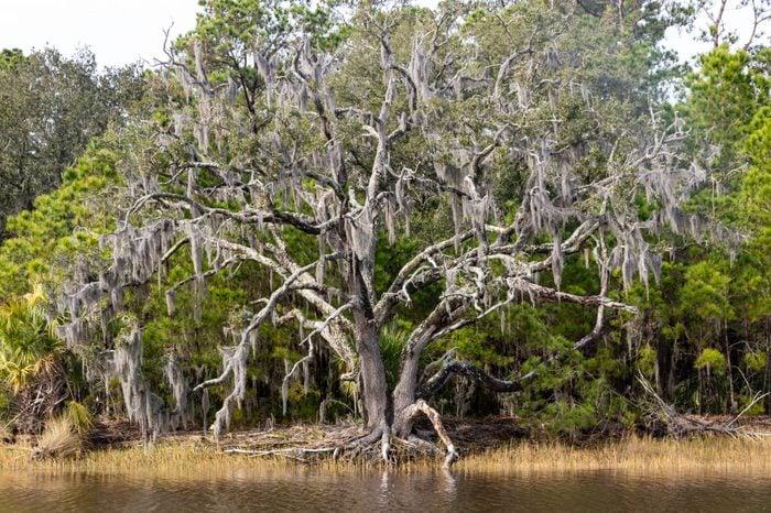 Live Oak Tree on Edisto Island