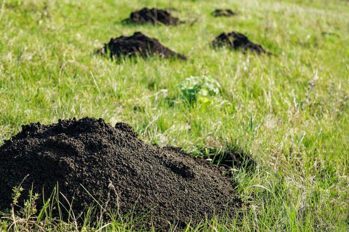 Mole hills on green grass. Close up