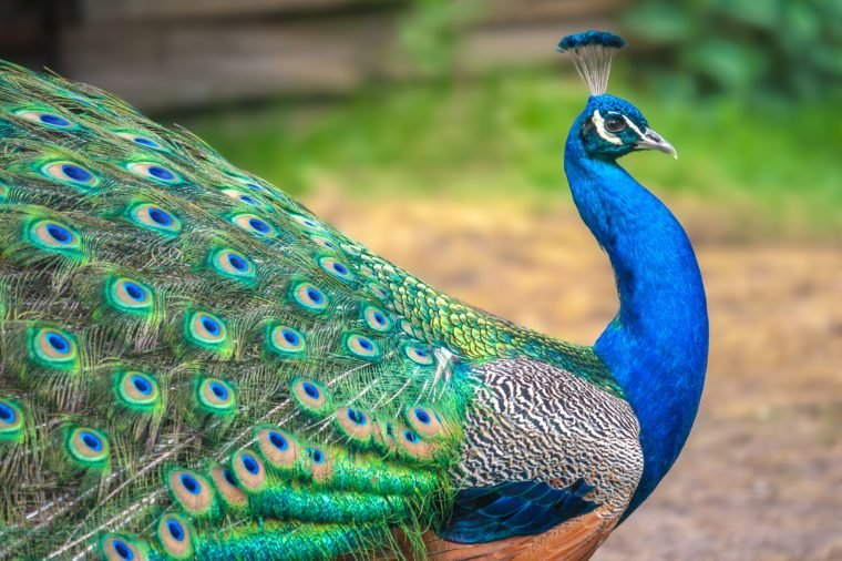 Peacock with spread wings in profile.