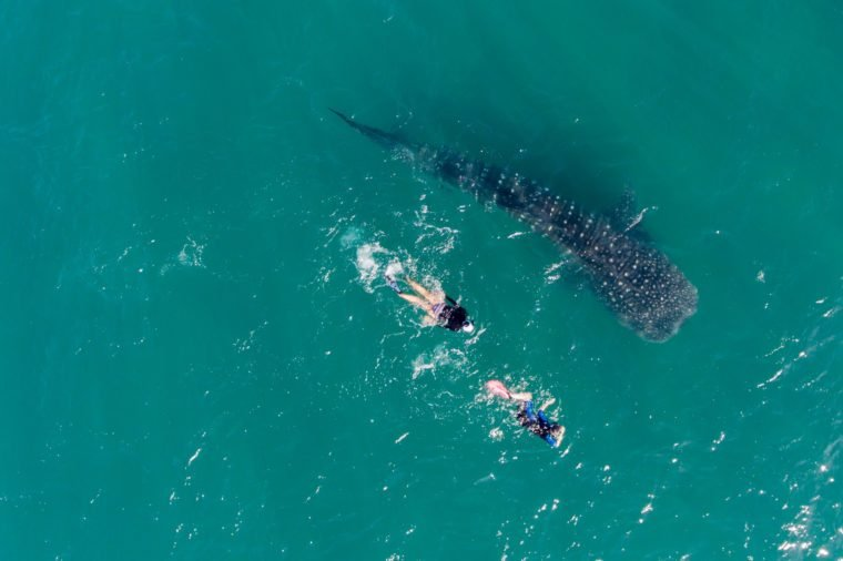 people snorkeling with whale sharks, Aerial view.
