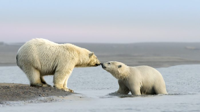 Mother Polar Bear and her cub rub noses near the village of Kaktovik in the Beaufort Sea off the north coast of Alaska. Polar Bears gather here in large numbers every fall.