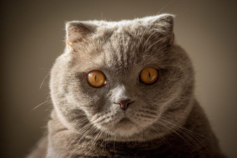 pop-eyed gray scottish fold cat on gray background