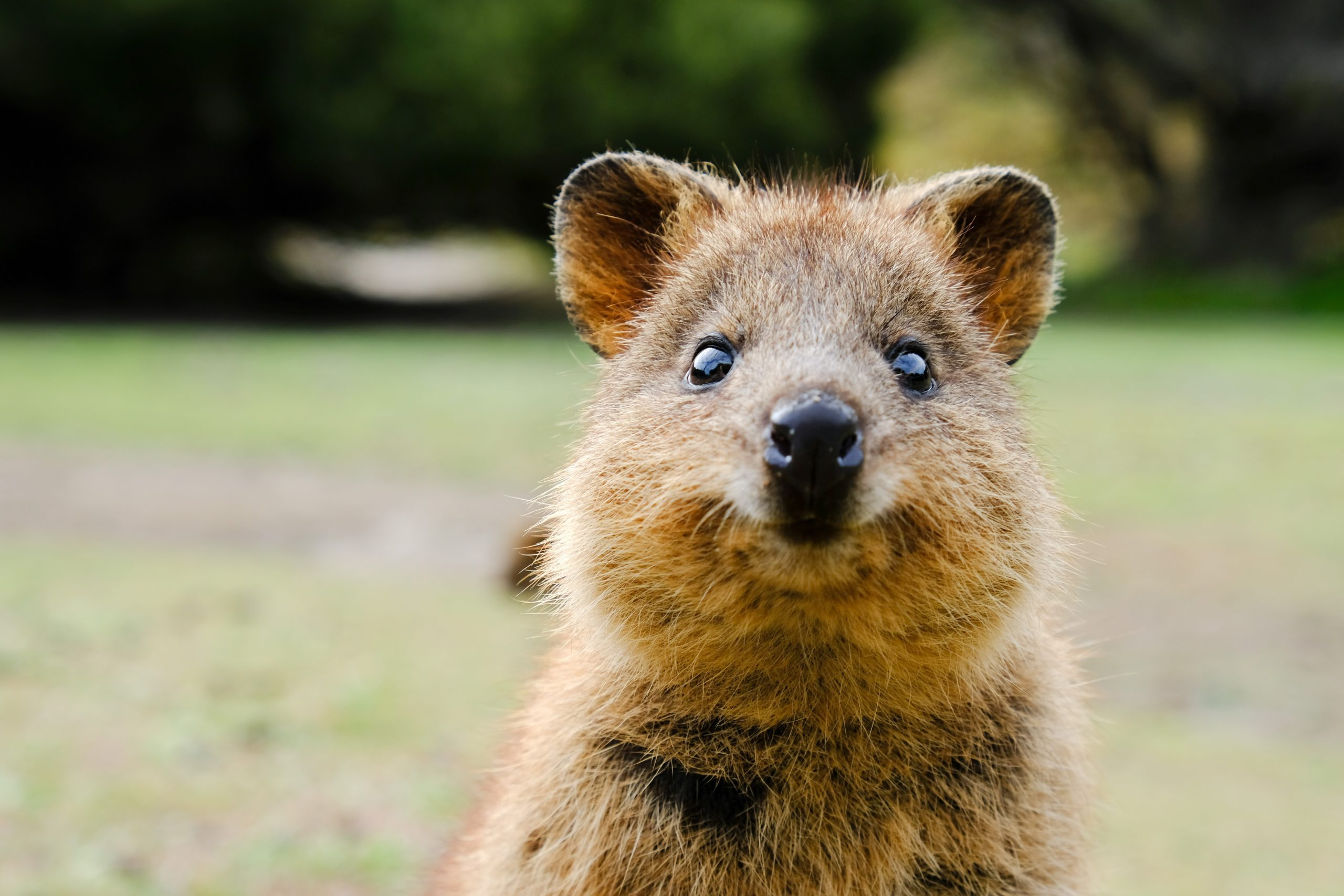 Close-up shot of a quokka, Setonix brachyrus, on Rottnest Island, looking right into the camera.