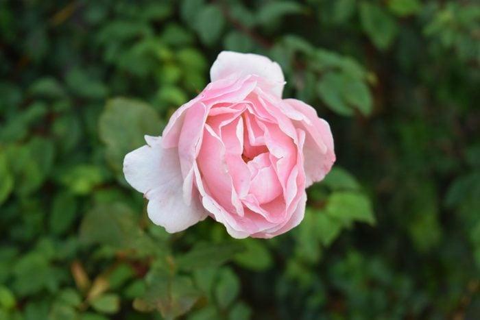 Pink rose on a rosebush