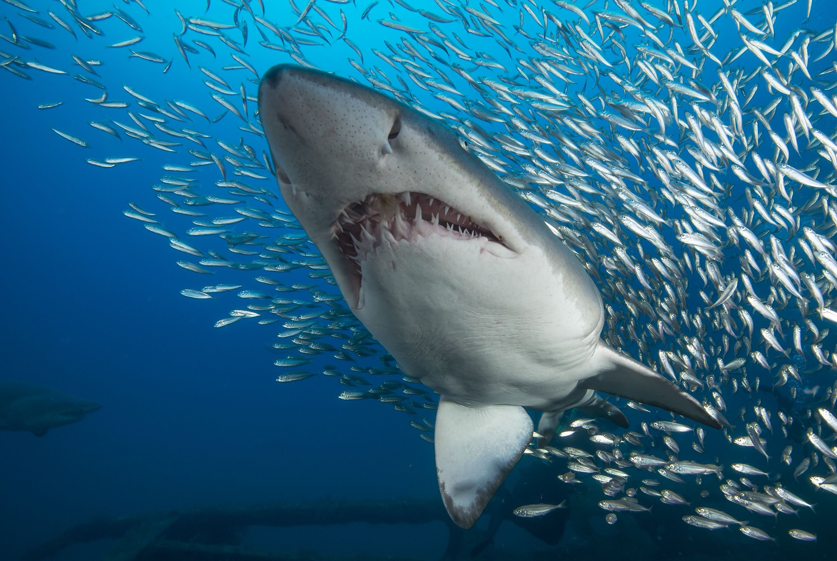 Misconceptions about Sharks - Animal Sake