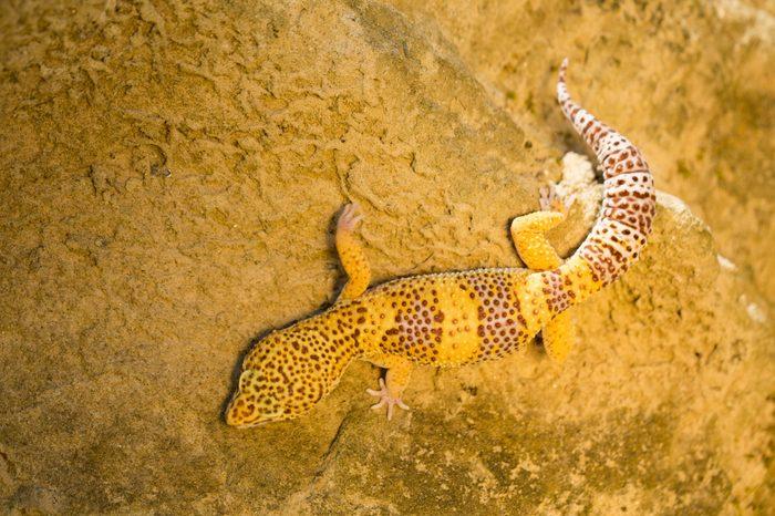 Common Leopard Gecko