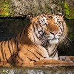 The Most Endangered Tigers in the World