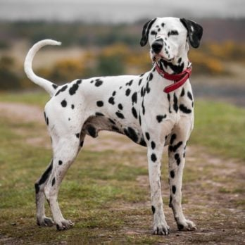 This Is Why Firehouse Dogs Are Usually Dalmatians