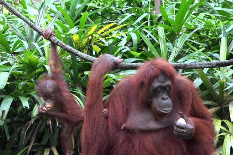Mother and baby orangutan hang from liana and eat in jungle