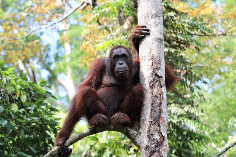 Borneo-Orang-Utan (Pongo pygmaeus) young male - Semenggoh Borneo Malaysia Asia