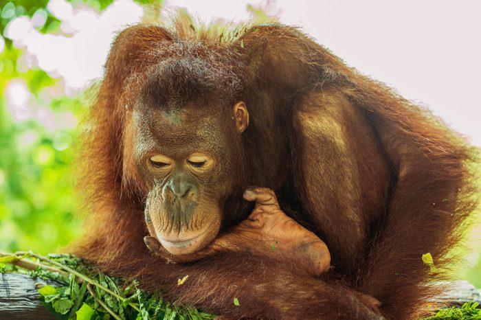 Orangutan isolated close up and beautiful