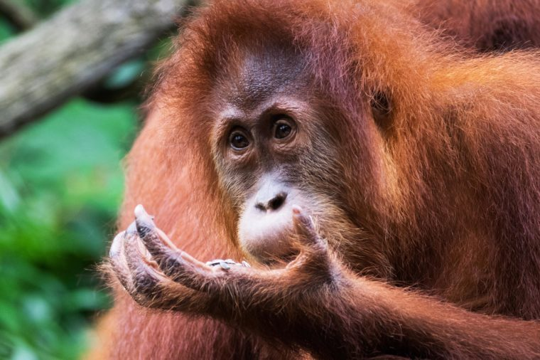 A Sumatran orangutan nibbles on a handful of seeds and stares wistfully into the distance.