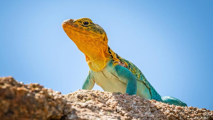 A colorful male Collared Lizard