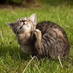 Cat Fleas: How to Get Rid of Them