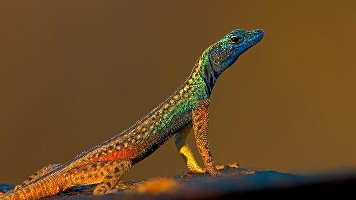 Flat Lizard, Augrabies National Park, South Africa