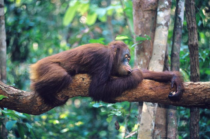 Orangutan resting on branch in forest