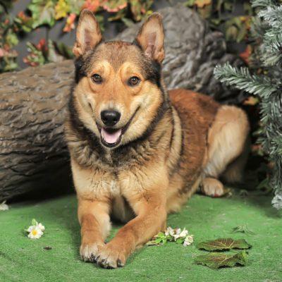 Beautiful brown crossbreed dog Husky and Shepherd.