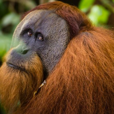 A beautiful large male Orangutan in Sumatra, Indonesia.