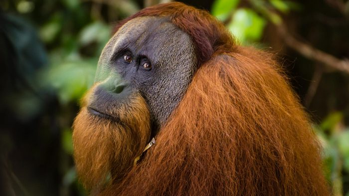 A beautiful large male Orangutan in Sumatra, Indonesia.