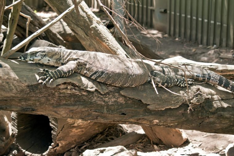 this juvenile lace monitor lizard is usually found in a tree