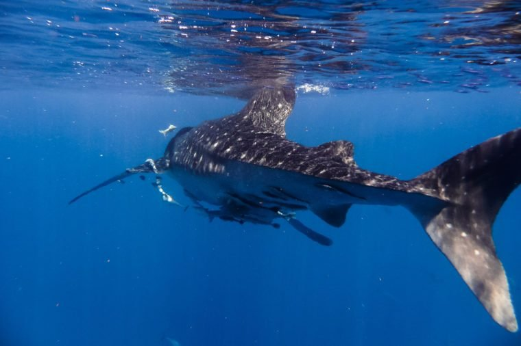 whale shark at nosy be in the Indian Ocean pret madagascar