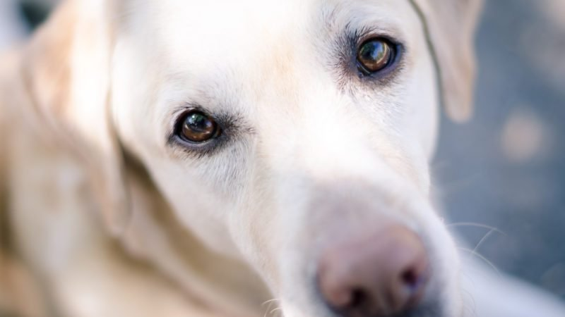 A portrait of a young yellow Labrador retriever