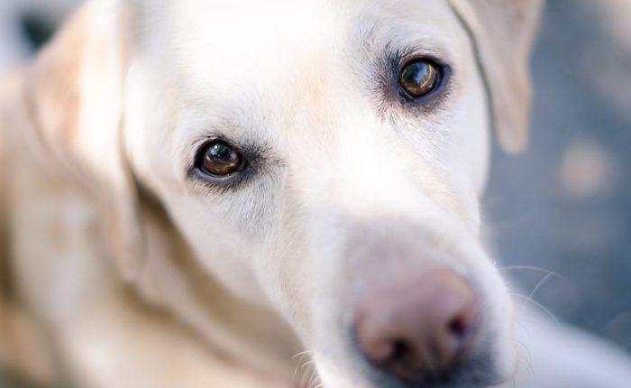 A portrait of a young yellow Labrador retriever