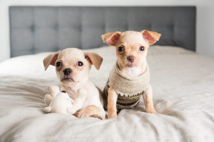 Tiny Chihuahua Puppies Playing with Toy on Owners Bed