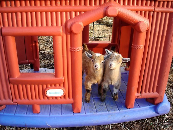 two small goats in the doorway of a plastic play house