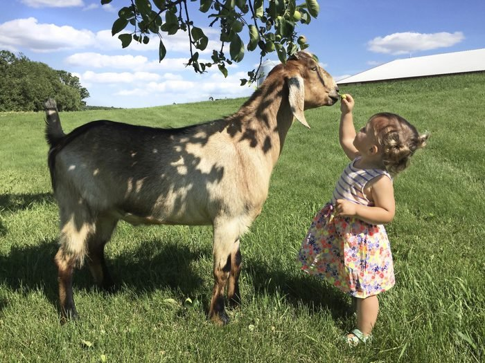 a young girl feeding a goat in a field on a sunny day