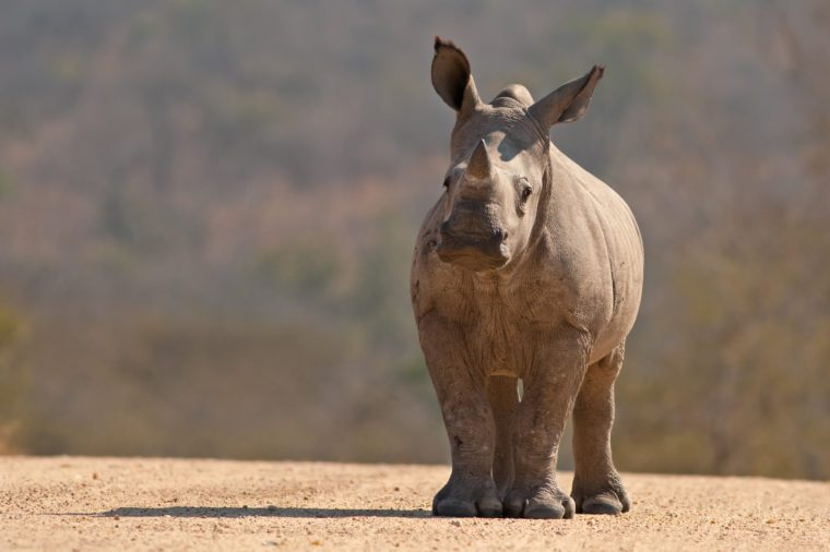 A White Rhinoceros calf in Kruger National Park, South Africa