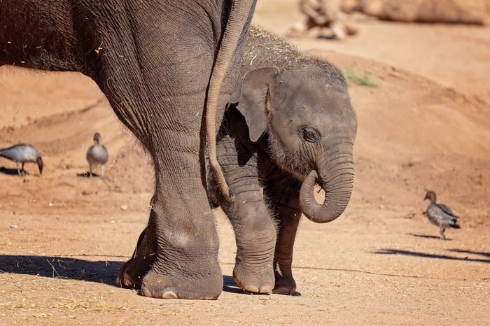 A baby elephant hiding behind its mothers hind legs