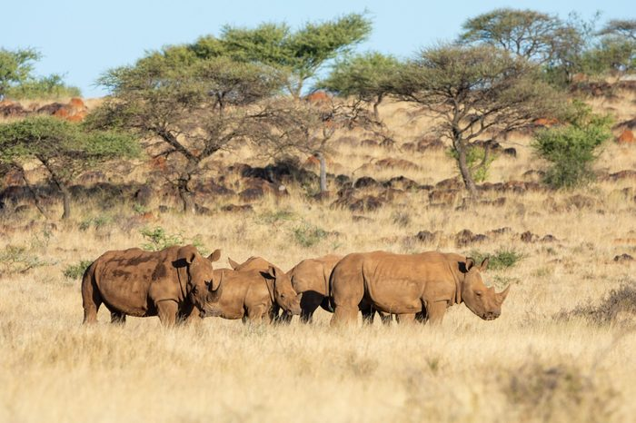 A group of White Rhino in Southern African savanna