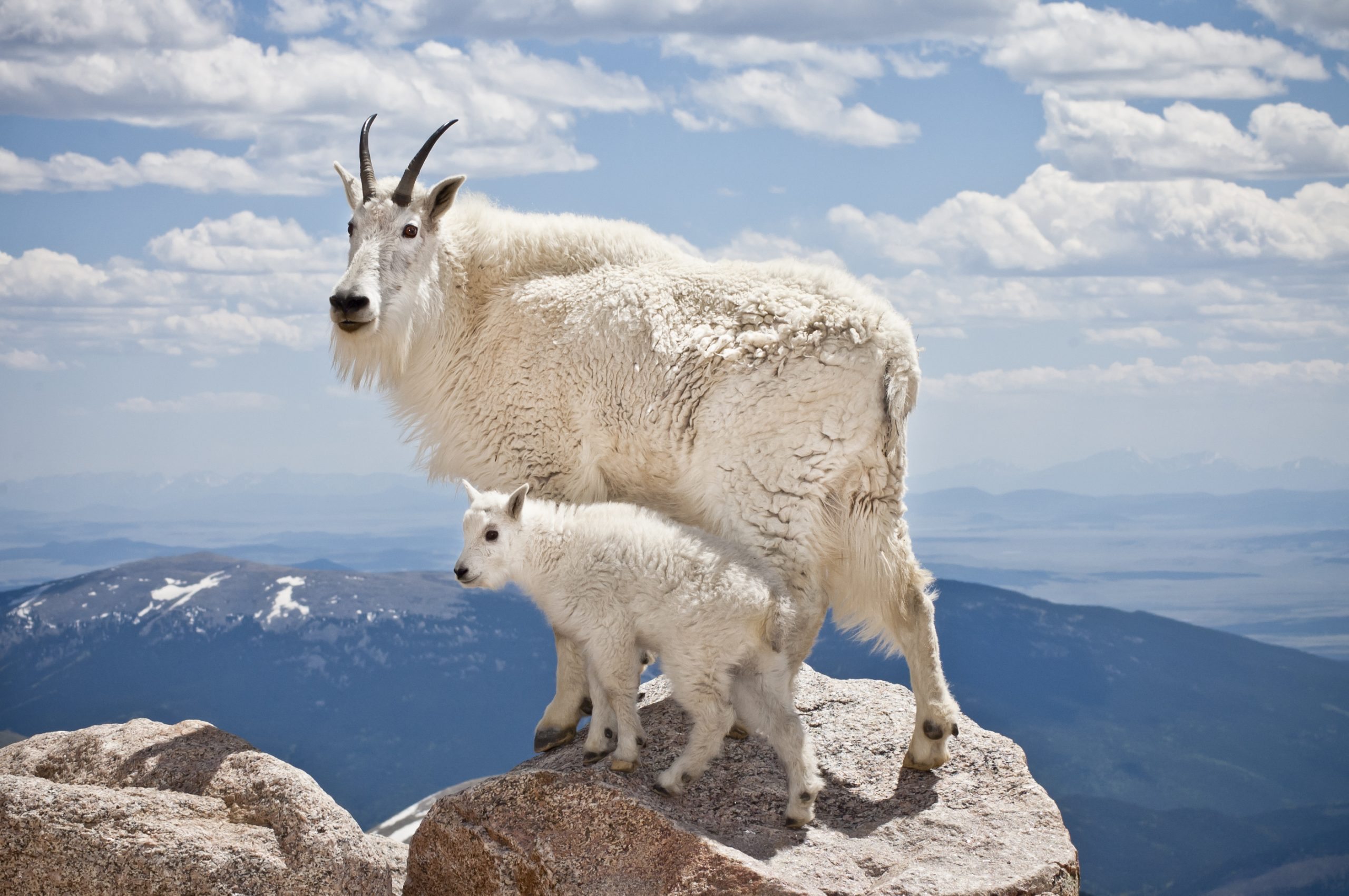 A pair of mountain goats stand proudly, high in the rocky mountains