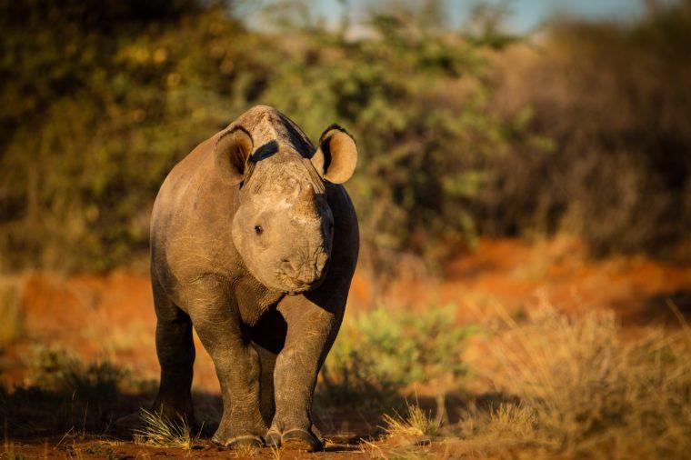 A sub adult black rhino in the Kalahari