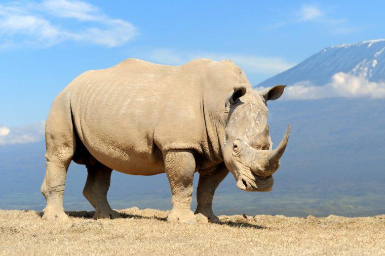 African white rhino on Kilimanjaro mount background, National park of Kenya