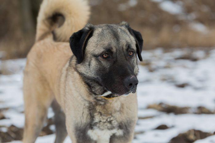 Anatolian dog