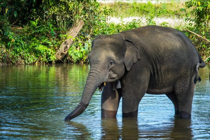 Asian elephant in river in Thailand