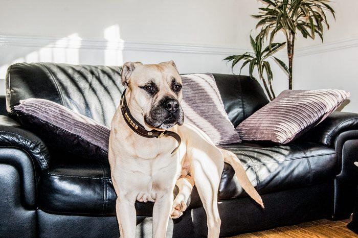 Beautiful Bull mastiff Dog sitting on a sofa