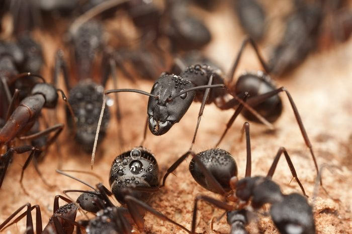 Big carpenter ants inside the nest, ant workers in colony, Morocco